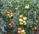 Patarimas, kad pomidorų derlius būtų rekordinis