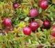 Kokie naudingiausi augalai inkstų veiklai sustiprinti?