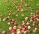 Kodėl verta valgyti obuolius?